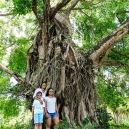 A six hundred years' old banyan tree