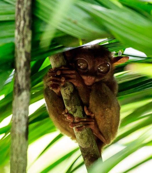 Tarsier can jump forty times their body lengths