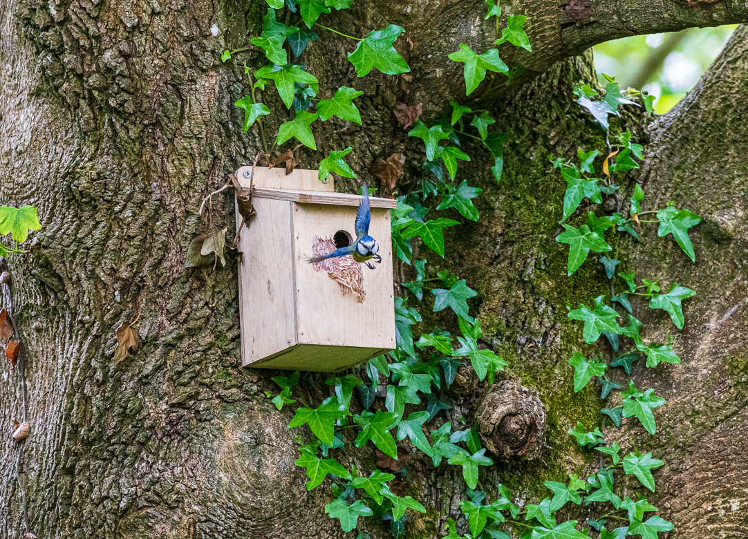 The bluetit is leaving his nest to catch some food. Photo: Lewis