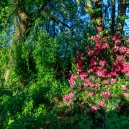 Underneath the cherry grows a red rhododendron