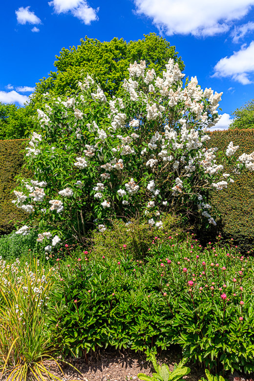The white lilac bush again with the red peonies in the foreground.