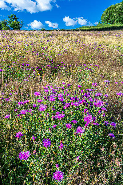 The purple floweers are Greater Knapweed