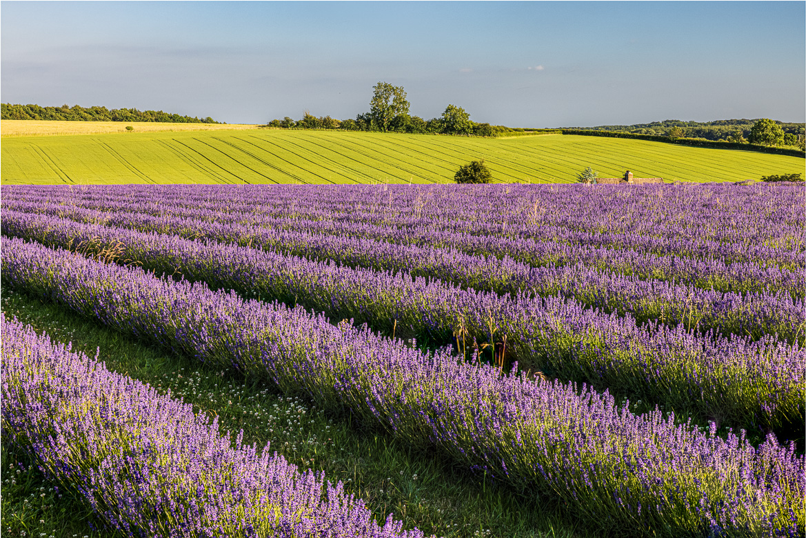 The lavender fields in evening light
